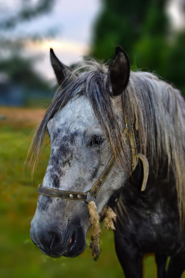 一个白马的面孔的特写镜头在软的焦点在背景中 免版税库存照片