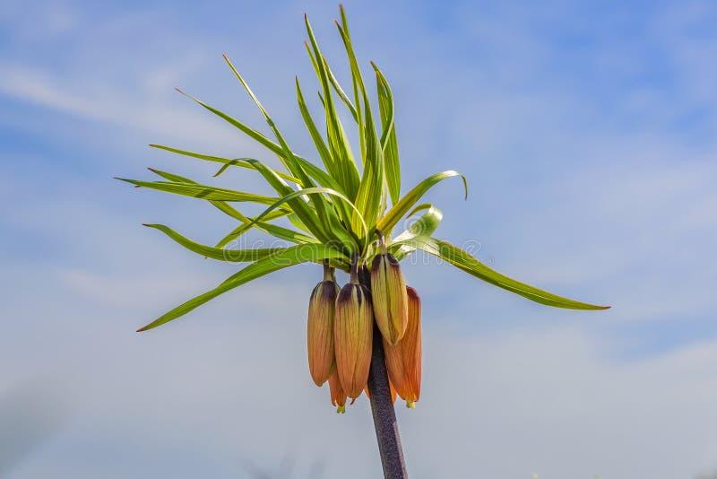 一个皇家冠植物拉丁名字的特写镜头-贝母imperialis sulpherino,花仍然在叶子已经是的芽 库存照片