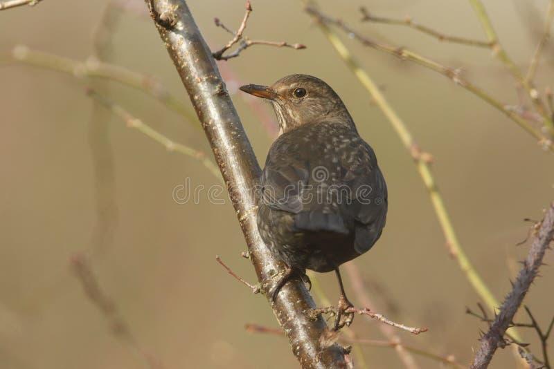 一个相当母黑鹂,画眉类merula,栖息在树的一个分支 免版税图库摄影