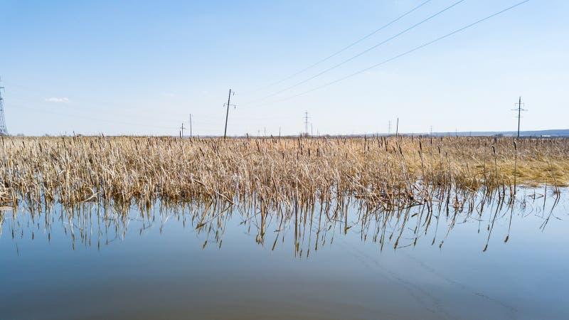 一个看法从春天烘干的水的湖中黄色芦苇被反射在一清楚的天空蔚蓝下无 免版税图库摄影