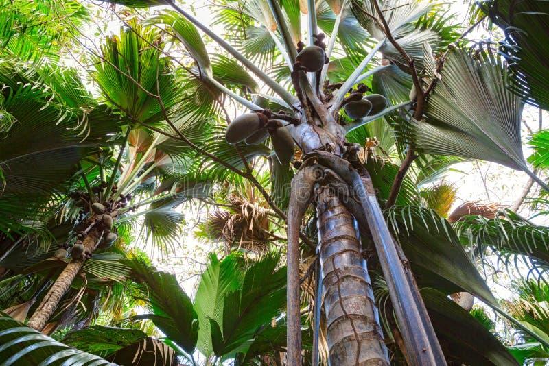 一个看法从下面向上在椰树de梅尔棕榈树 Vallee De Mai棕榈森林,普拉兰岛海岛,塞舌尔群岛 免版税库存照片