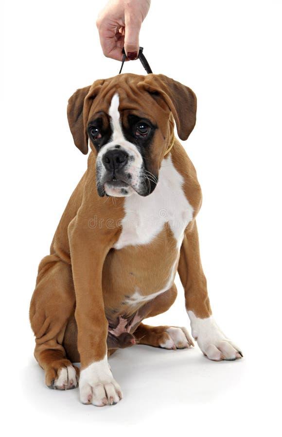 一个空白背景的红色狗品种拳击手。 库存图片