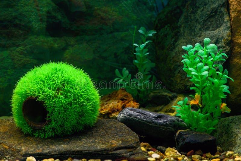 一个空的圆的绿色球是草鱼的一个房子在一个透明水族馆、一根木断枝和人为植物中 库存图片