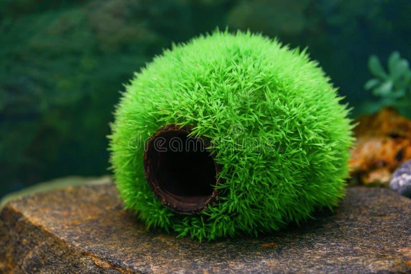 一个空的圆的绿色球是草鱼的一个房子在一个透明水族馆 库存图片