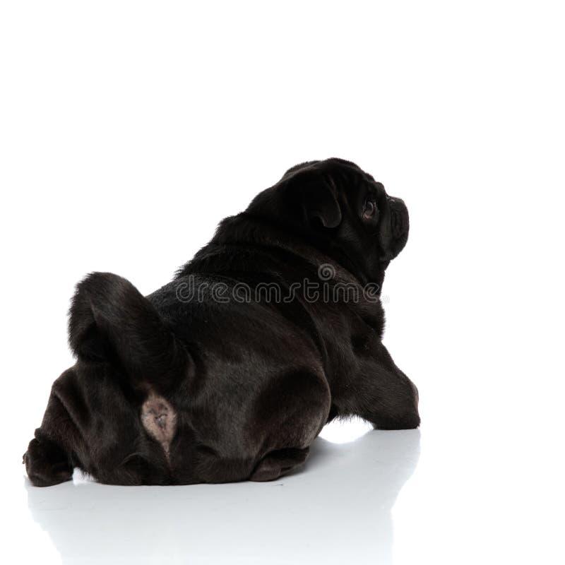 一个笨拙的黑哈巴狗的背面图 库存图片