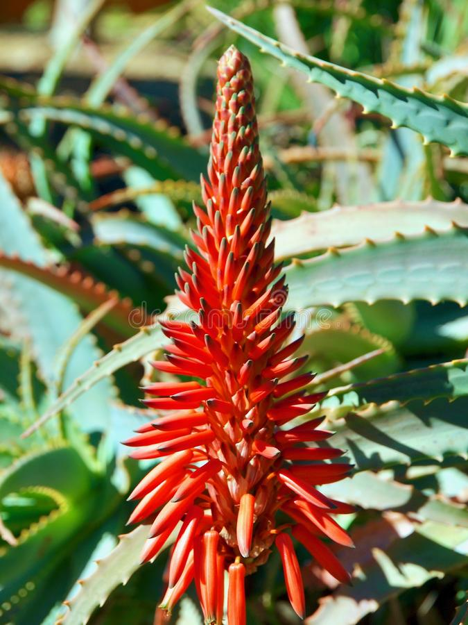 一个红色开花的龙舌兰仙人掌的特写镜头 免版税库存图片