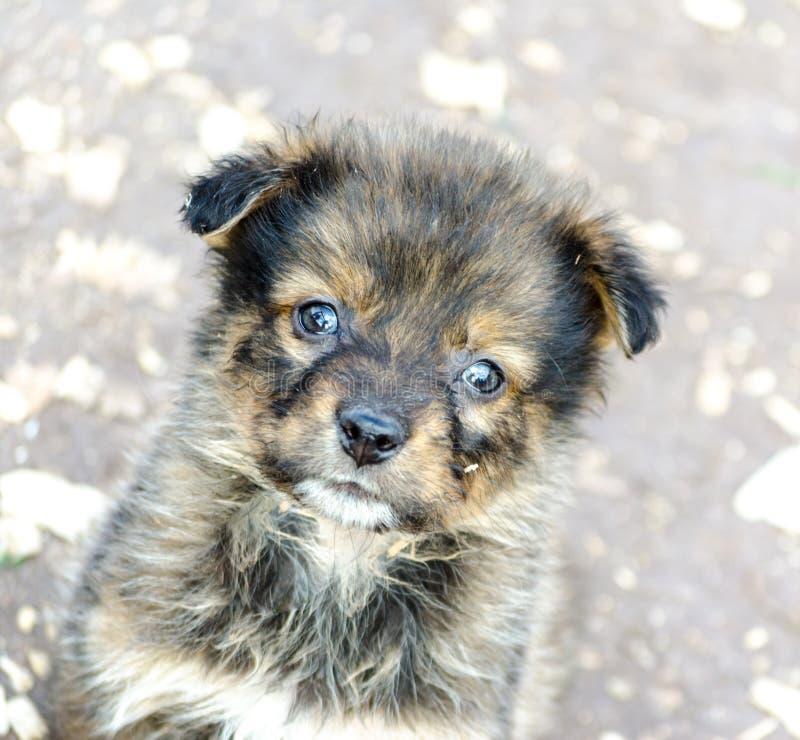 一个纯血统哀伤的小狗特写镜头的画象 免版税库存图片