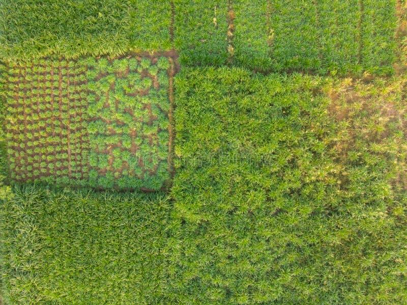 一个绿色牧场的鸟瞰图一个大奶牛场的奶牛的在农村印度 库存图片