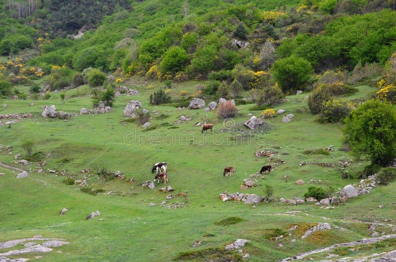 一个绿色草甸的全景山的与开花的黄色灌木 母牛在草甸吃草 免版税库存照片