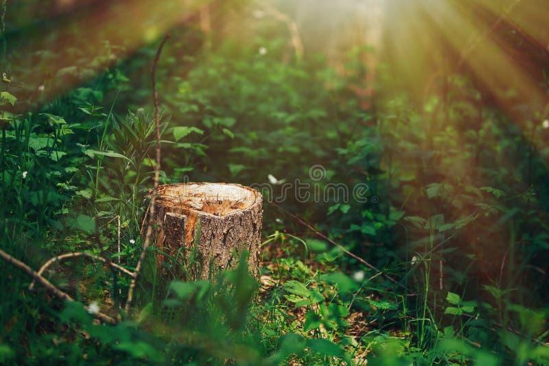 一个美丽如画的树桩的照片在阳光在绿色森林里,春天下 美好的自然在雾的早晨 ?? 库存照片