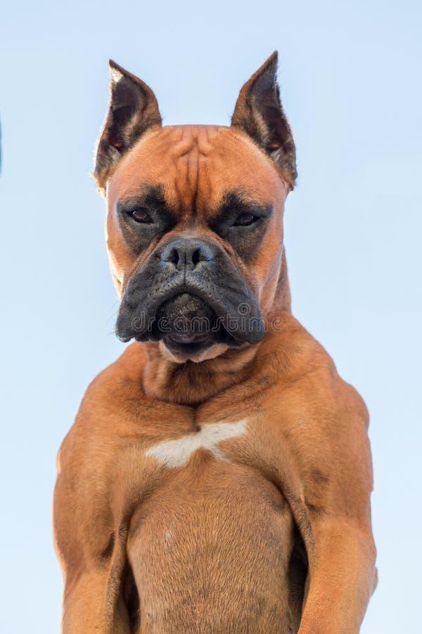 一个美好的拳击手狗品种的画象 免版税库存图片