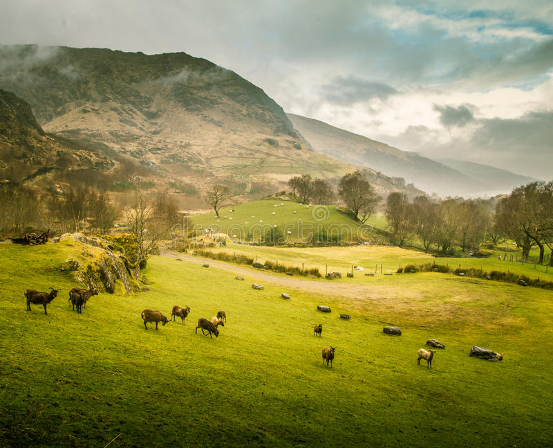 一个美好的爱尔兰山风景在有绵羊的春天 免版税库存图片