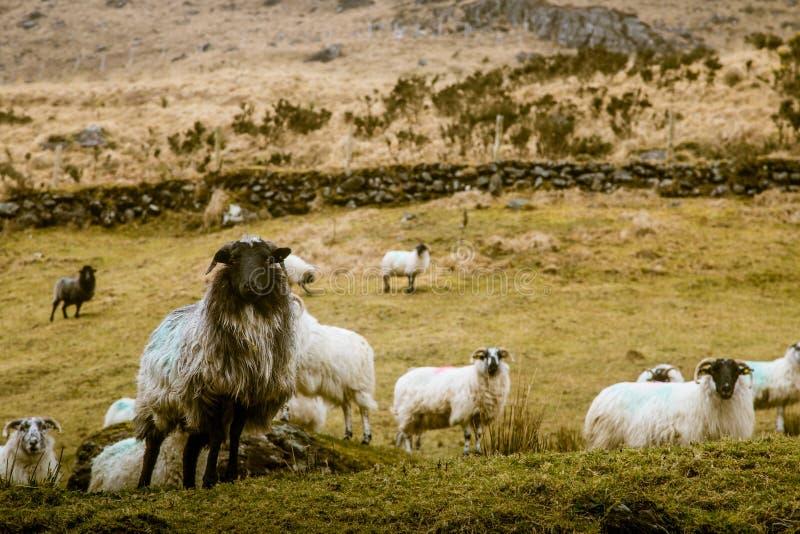 一个美好的爱尔兰山风景在有绵羊的春天 库存照片