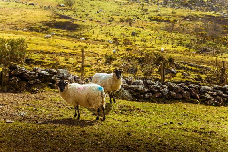一个美好的爱尔兰山风景在有绵羊的春天 免版税图库摄影