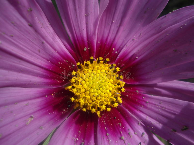一个美好的紫色波斯菊花宏指令 库存照片