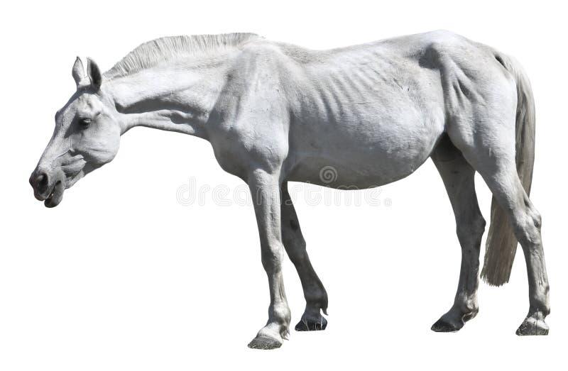 一个老白马在一个草甸在早期的春天吃草 被隔绝的马 免版税库存照片
