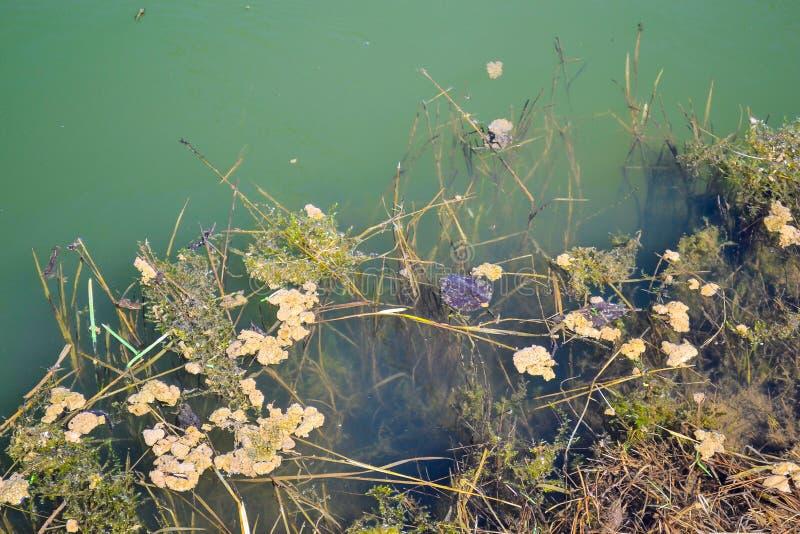 一个老长满的池塘的绿色水 免版税库存照片