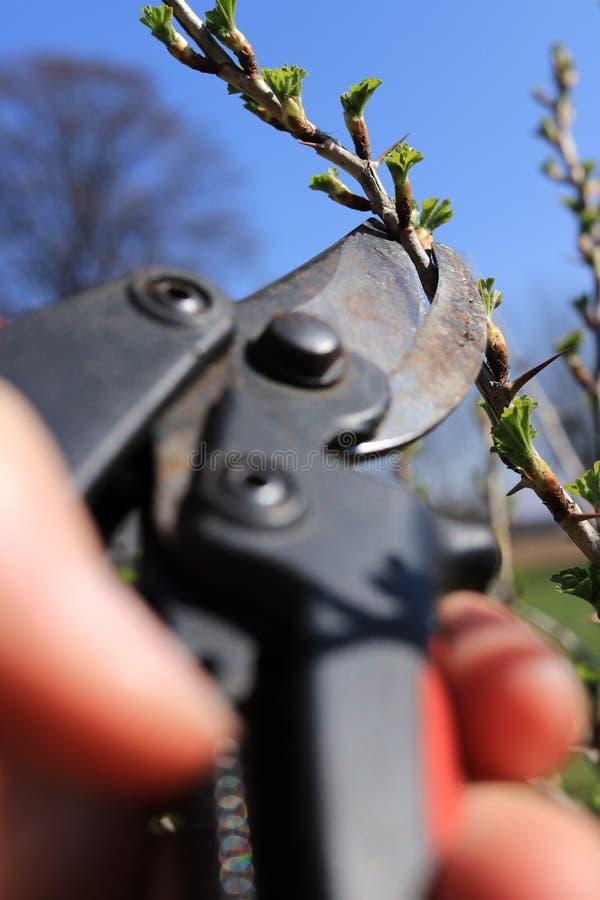 一个花匠人削减与刺的树枝有在庭院的修枝剪剪枝夹的秋天时间的 他修剪灌木灌木与 免版税图库摄影