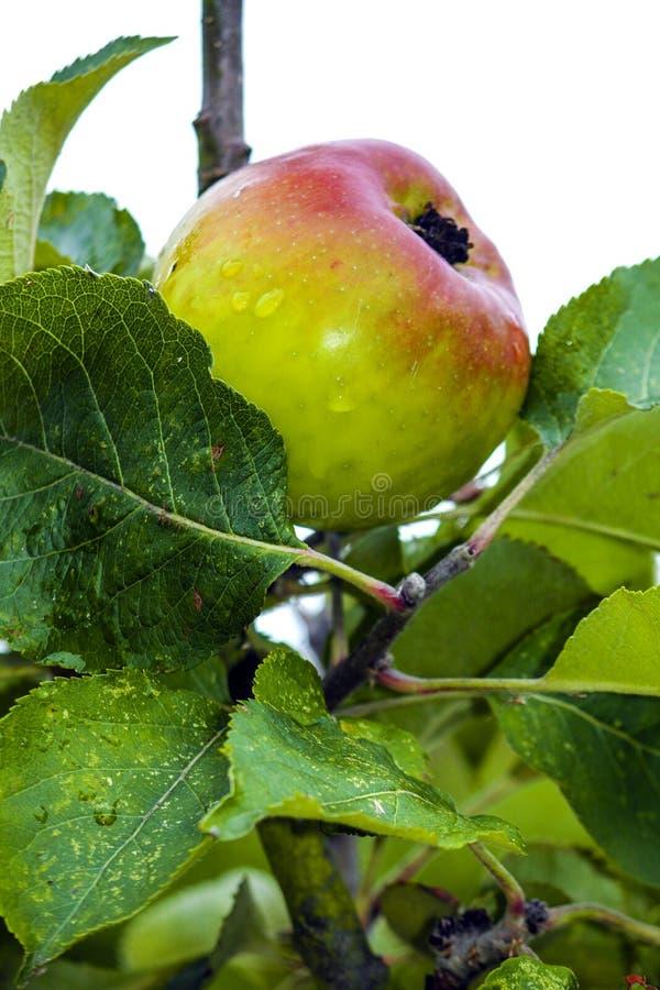 一个苹果的特写镜头研究在树的 免版税库存图片