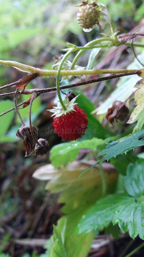 一个草莓 免版税图库摄影