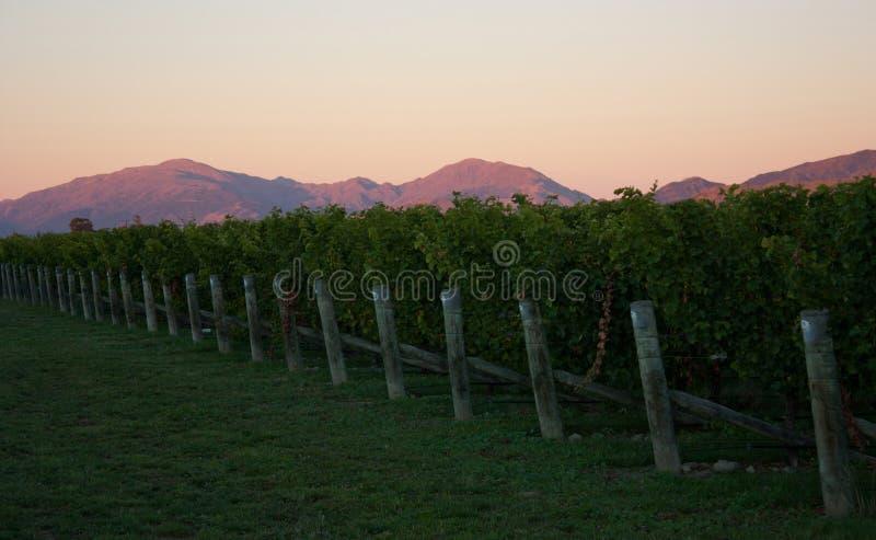 一个葡萄园和山在背景中在马尔伯勒在南岛在新西兰在日落期间 免版税图库摄影