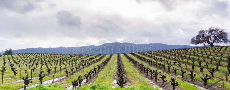 一个葡萄园的全景在索诺马谷在春天,加利福尼亚初 库存图片