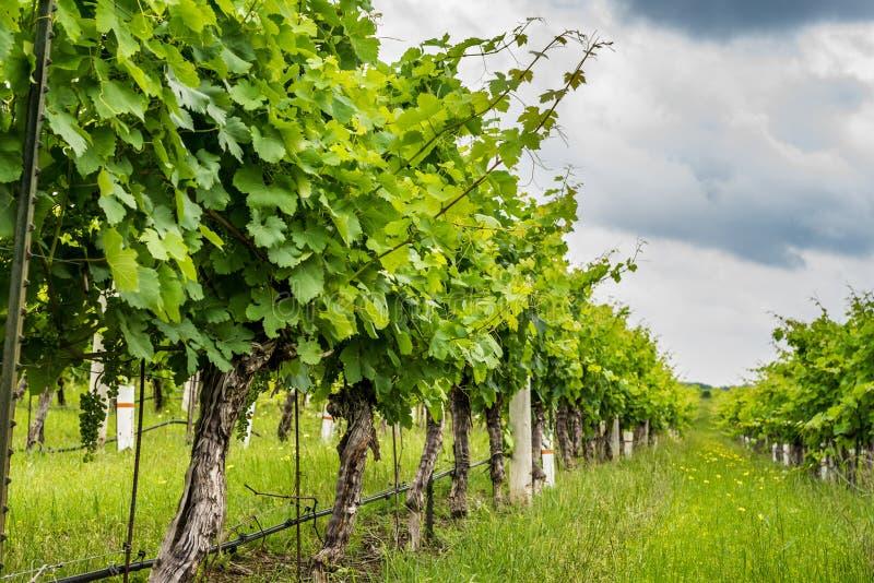 一个葡萄葡萄园的行低看法在得克萨斯小山国家 免版税库存照片