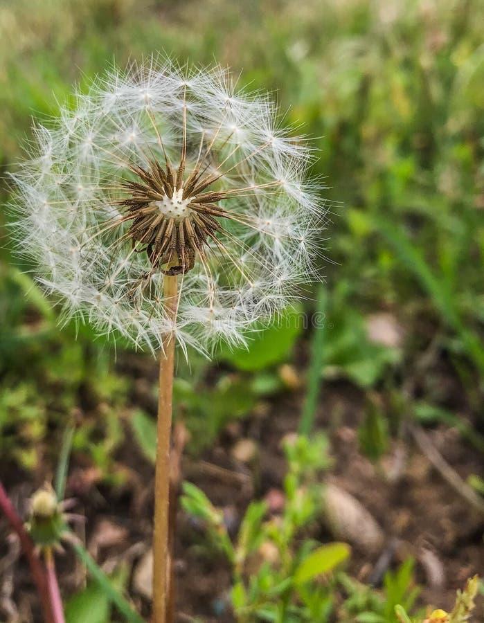 一个蒲公英在春天草甸 免版税库存照片