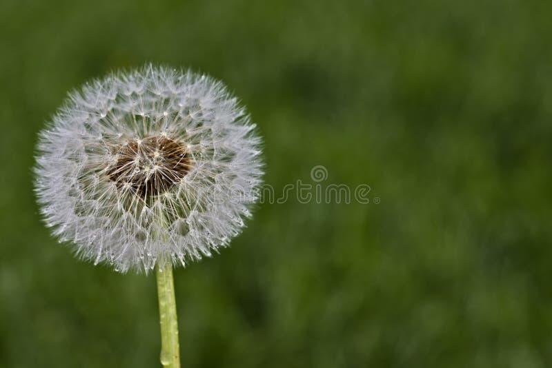 一个蒲公英的接近的照片反对绿草被弄脏的背景的  免版税库存图片