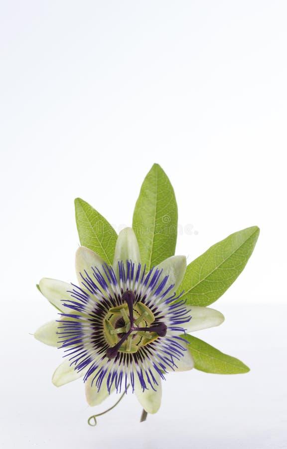 一个蓝色激情花西番莲的宏观射击 图库摄影