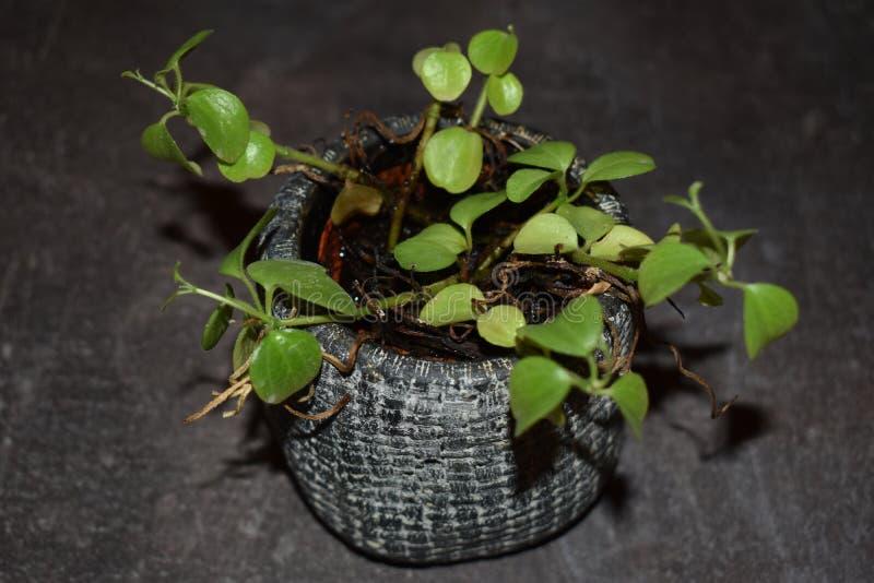 一个蓝色罐的一棵小植物 免版税库存照片