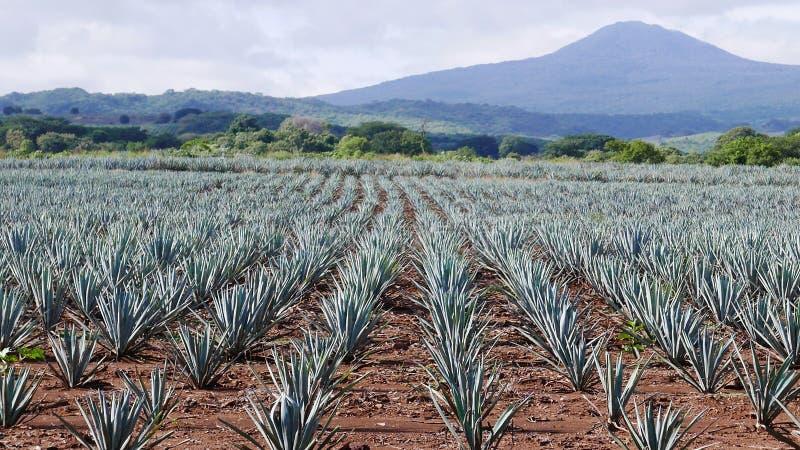 一个蓝色龙舌兰领域的看法 图库摄影