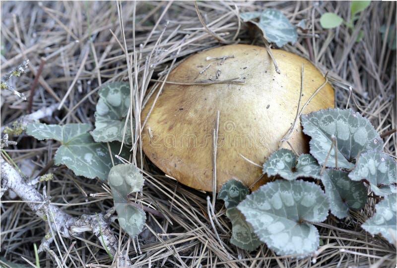 一个蘑菇在杉木森林里 免版税库存图片
