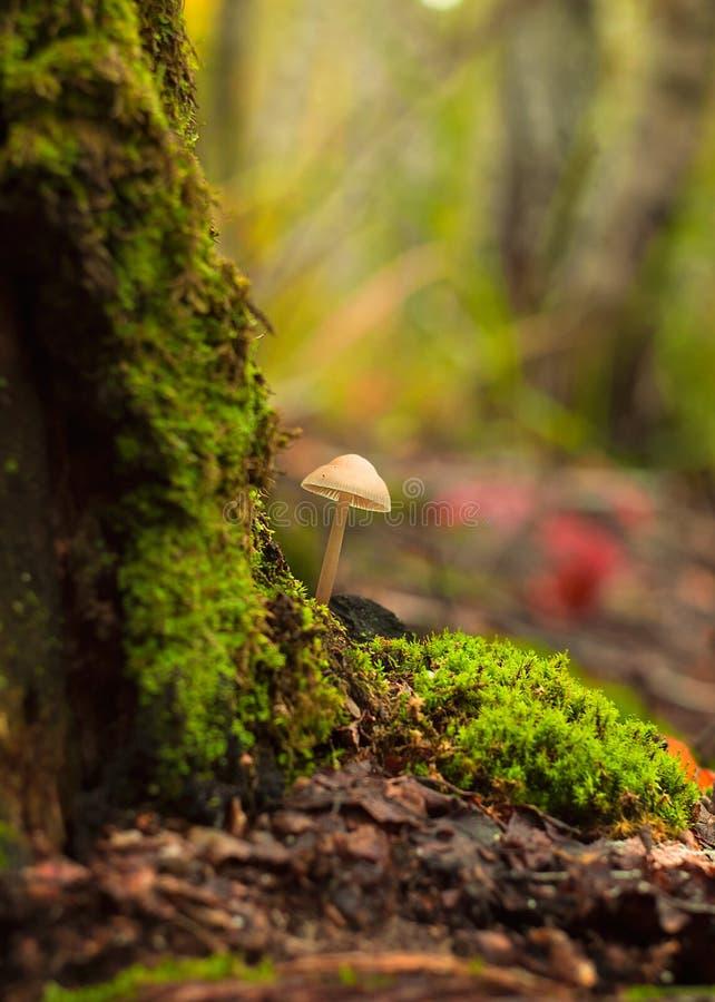 一个蘑菇在森林特写镜头增长 免版税库存图片