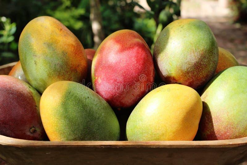 一个装有天然芒果的大托盘 免版税库存照片