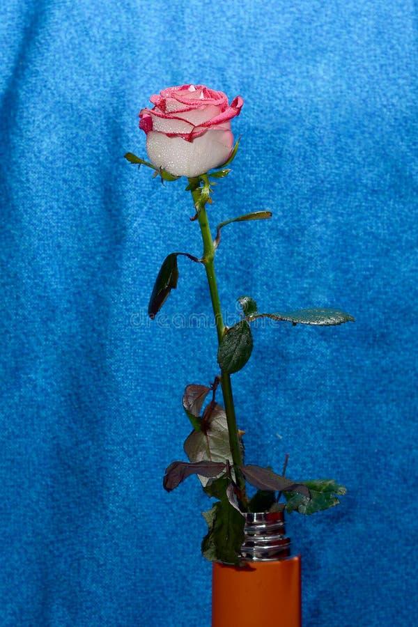 一个词根的罗斯在花瓶 库存照片