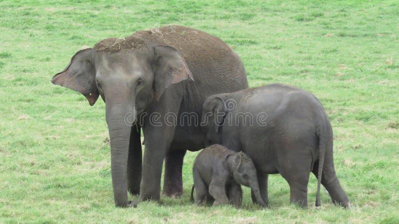 一个逗人喜爱的大象家庭在斯里兰卡 图库摄影