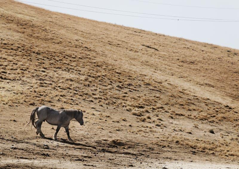 一个野马在使荒凉的土地单独跑 库存图片