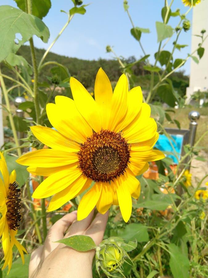 一个金黄向日葵 免版税库存图片