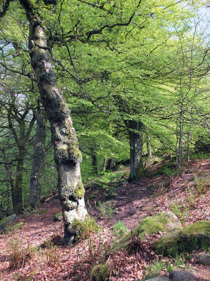 一个陡坡的充满活力的绿色初夏森林与生长在岩石地面和阳光的老高扭转的山毛榉树 库存图片