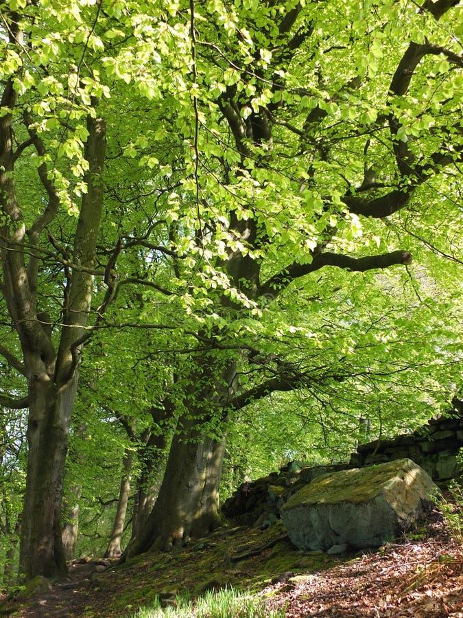 一个陡坡的充满活力的绿色夏天森林与生长在岩石地面和阳光的高山毛榉树在鲜绿色的leav 图库摄影