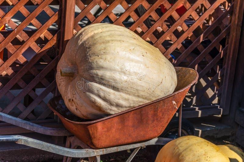 一个非常大南瓜的图片在生存的被交付销售 免版税库存图片