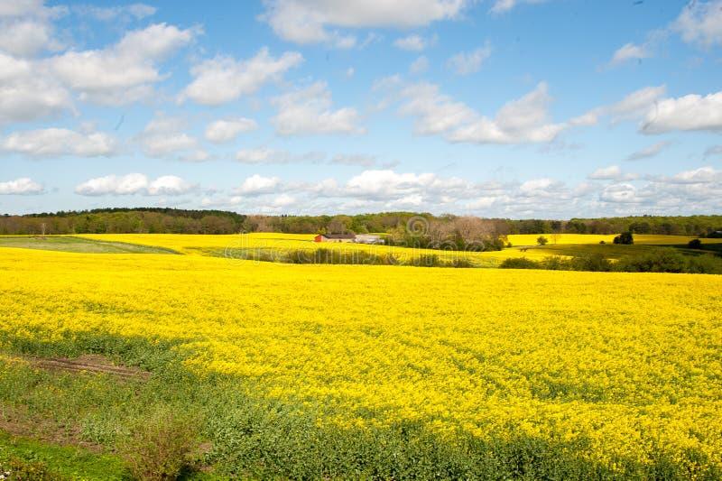 一个领域用在summerday的油菜籽 免版税图库摄影