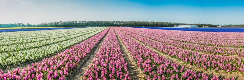 一个风信花领域的全景在一天空蔚蓝下的在荷兰 库存图片