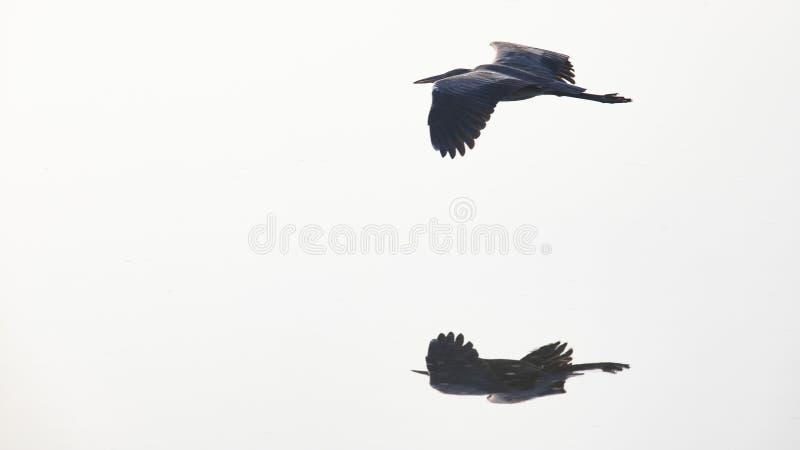 一个飞行的伟大蓝色的苍鹭的巢的反射在池塘中水  图库摄影