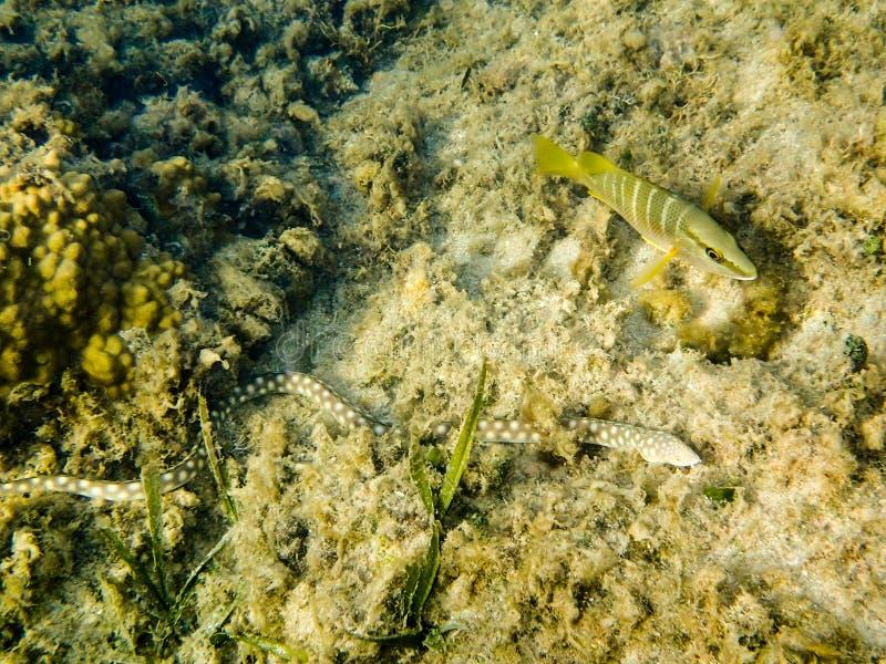 一个鳗鱼和一条鱼的图象在Roatan洪都拉斯 免版税库存照片