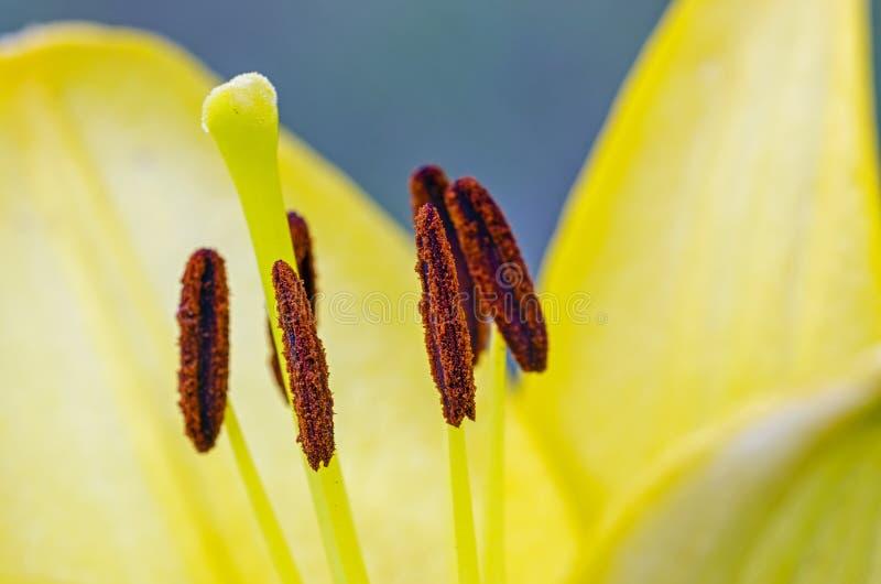 一个黄色百合的特写镜头 图库摄影