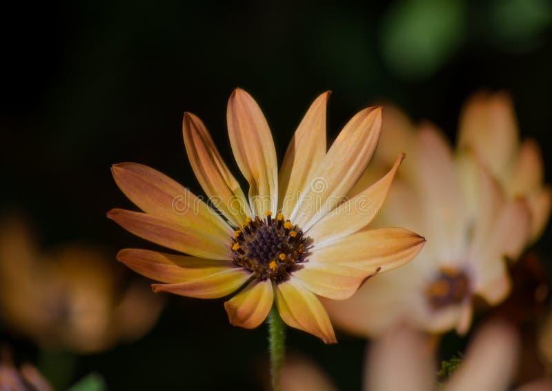 一个黄色雏菊花特写镜头,宏指令 有被弄脏的黄色花背景 库存照片