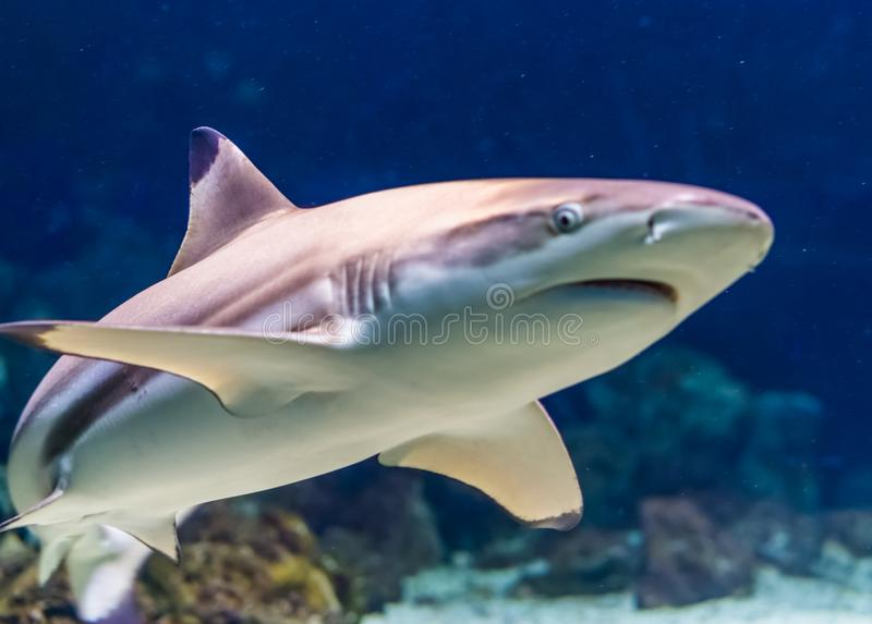 一个黑技巧礁石鲨鱼的特写镜头,热带在被威胁的鱼硬币形式附近印度和太平洋 库存图片