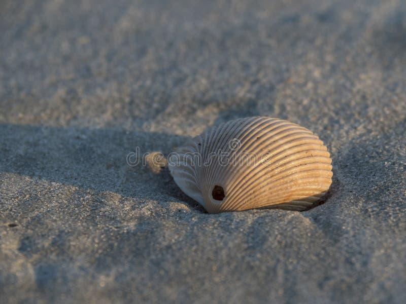 一个贝壳 库存图片